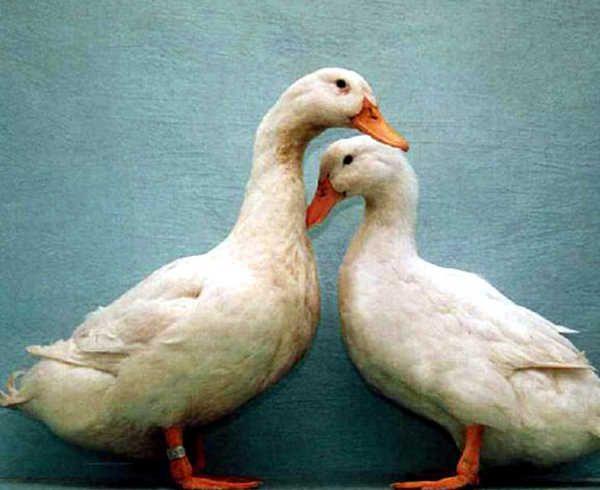 Две линии одного кросса благоварской утки