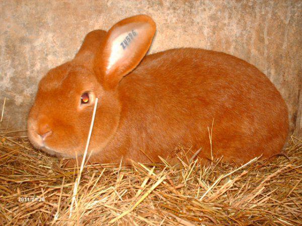 Для спаривания следует выбирать здоровых и упитанных кроликов