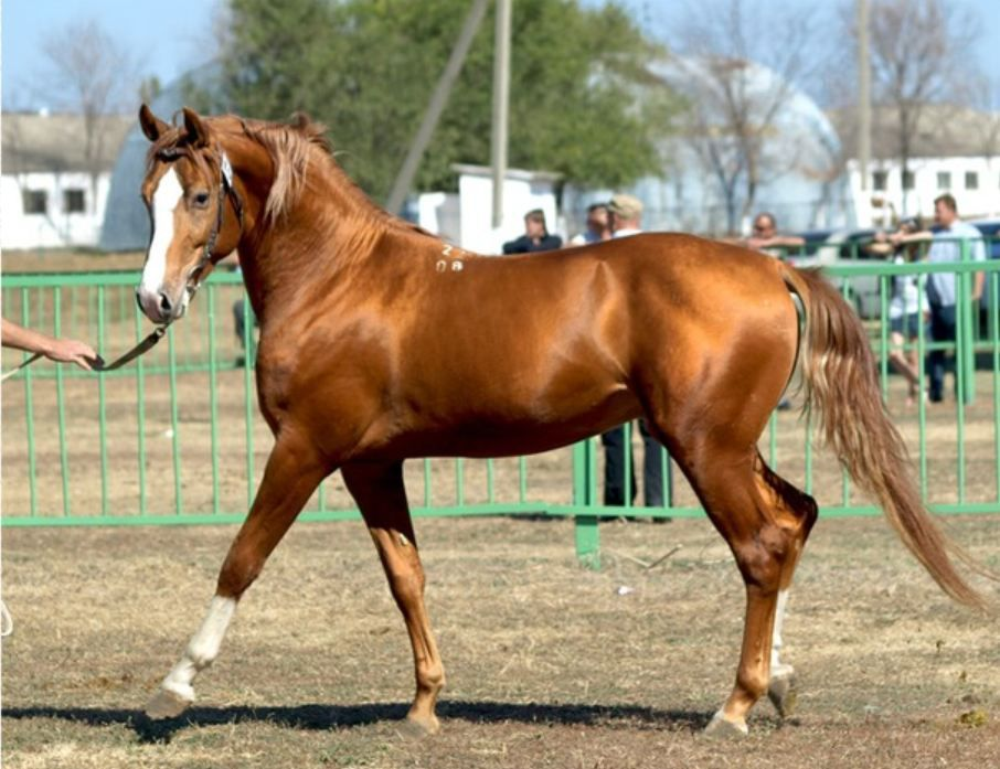 Донская лошадь золотистого оттенка