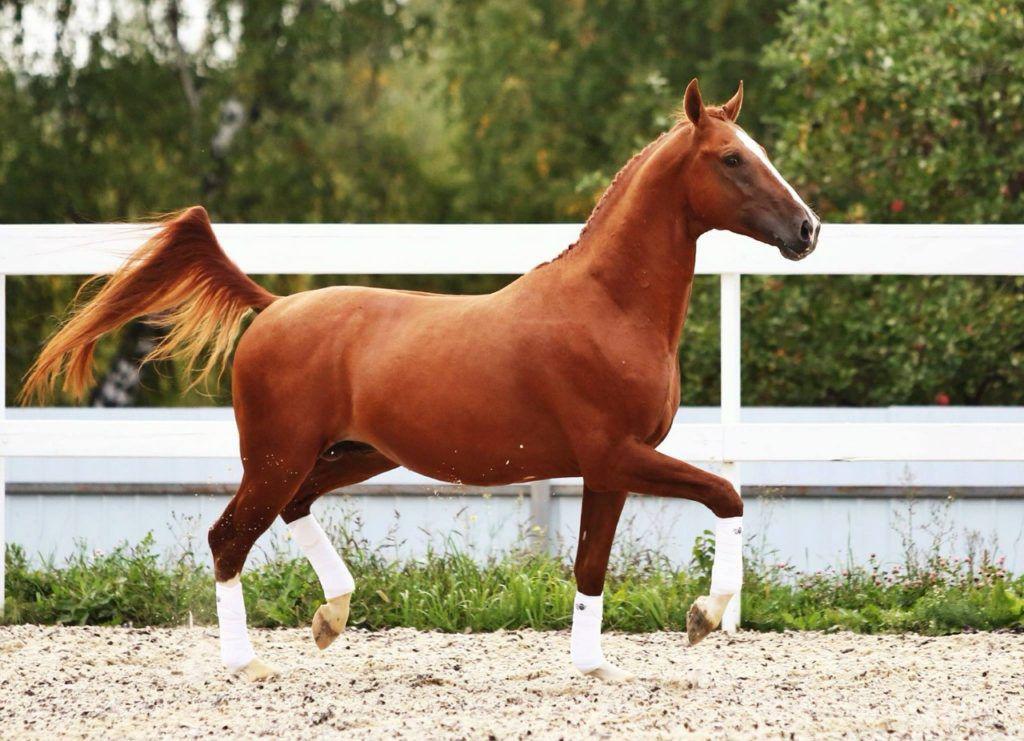 Донской конь - фото