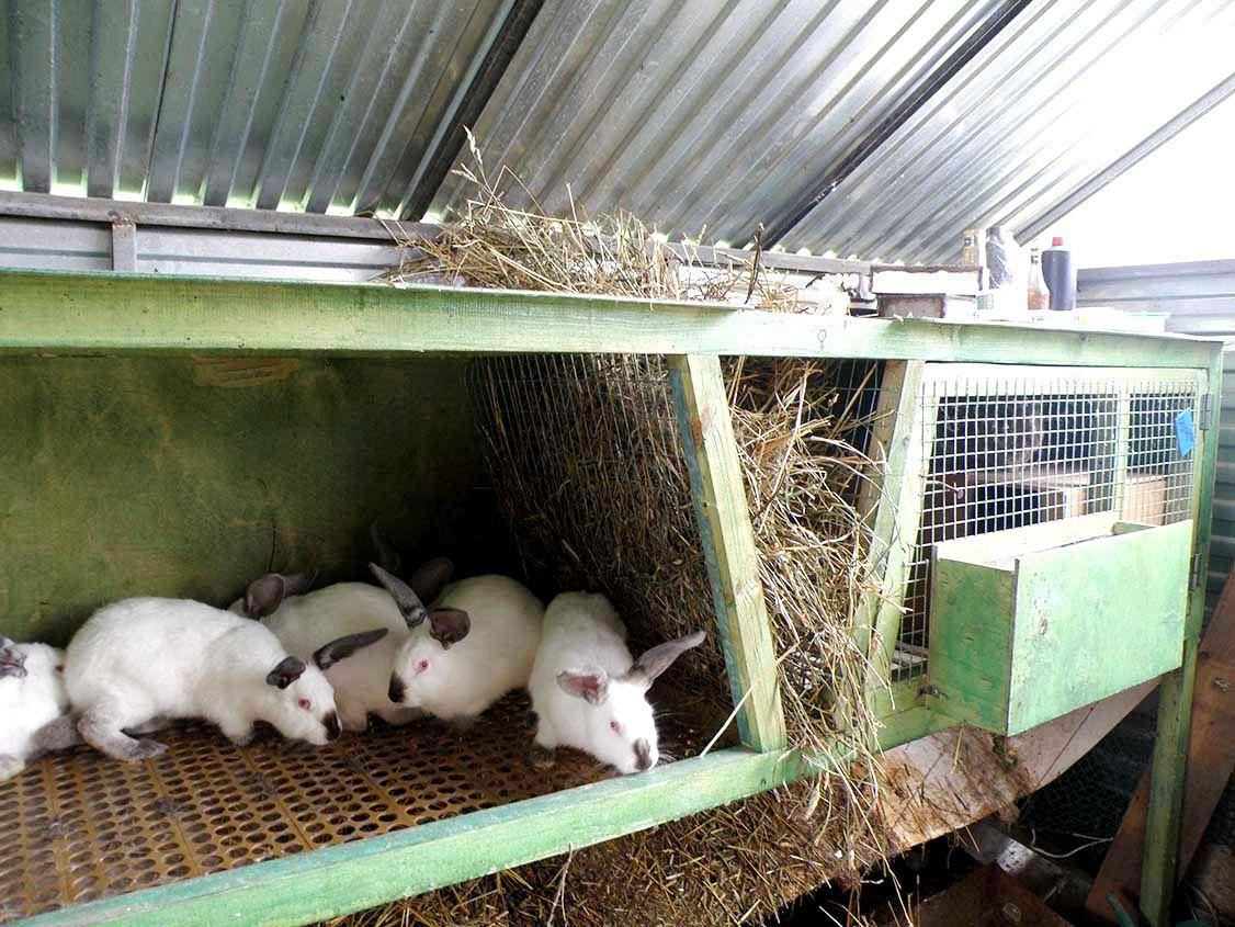 чем обработать клетки кроликов после болезни