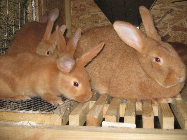 За один помет крольчиха бургундской породы производит от 10 до 12 кроликов