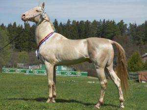 Изабелловая ахалтекинская лошадь