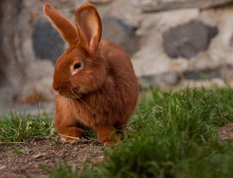 Изделия из меха бургундского кролика отличаются долговечностью