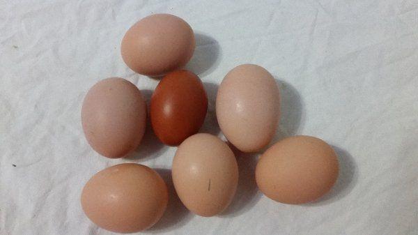 Инкубационное яйцо кур Амрокс стоит в среднем от 60 до 100 рублей