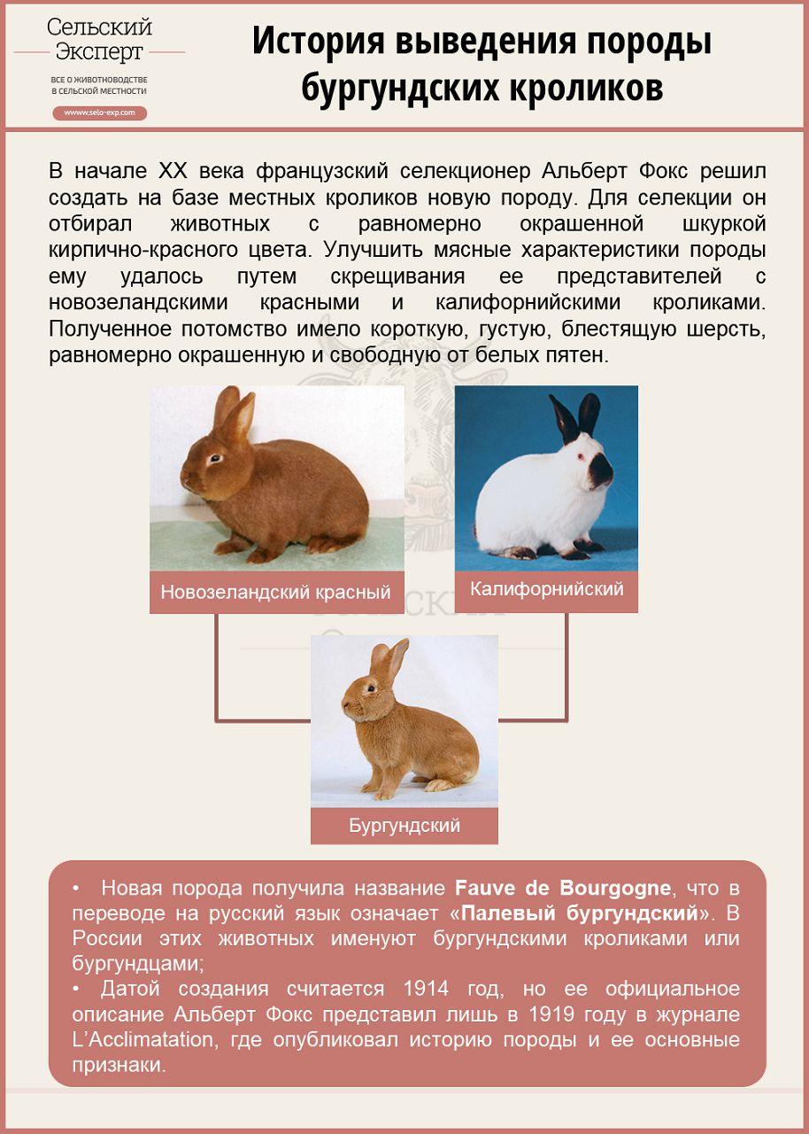 История выведения бургундского кролика