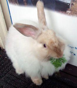 Кормление ангорского кролика