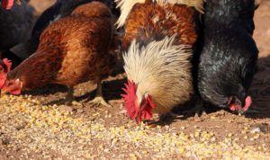 Кормление кур - важная часть птицеводства