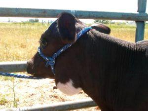 Корова с крупной актиномикомой в области шеи