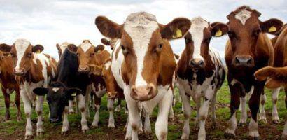 Коровый айрширской породы выделяются в стаде