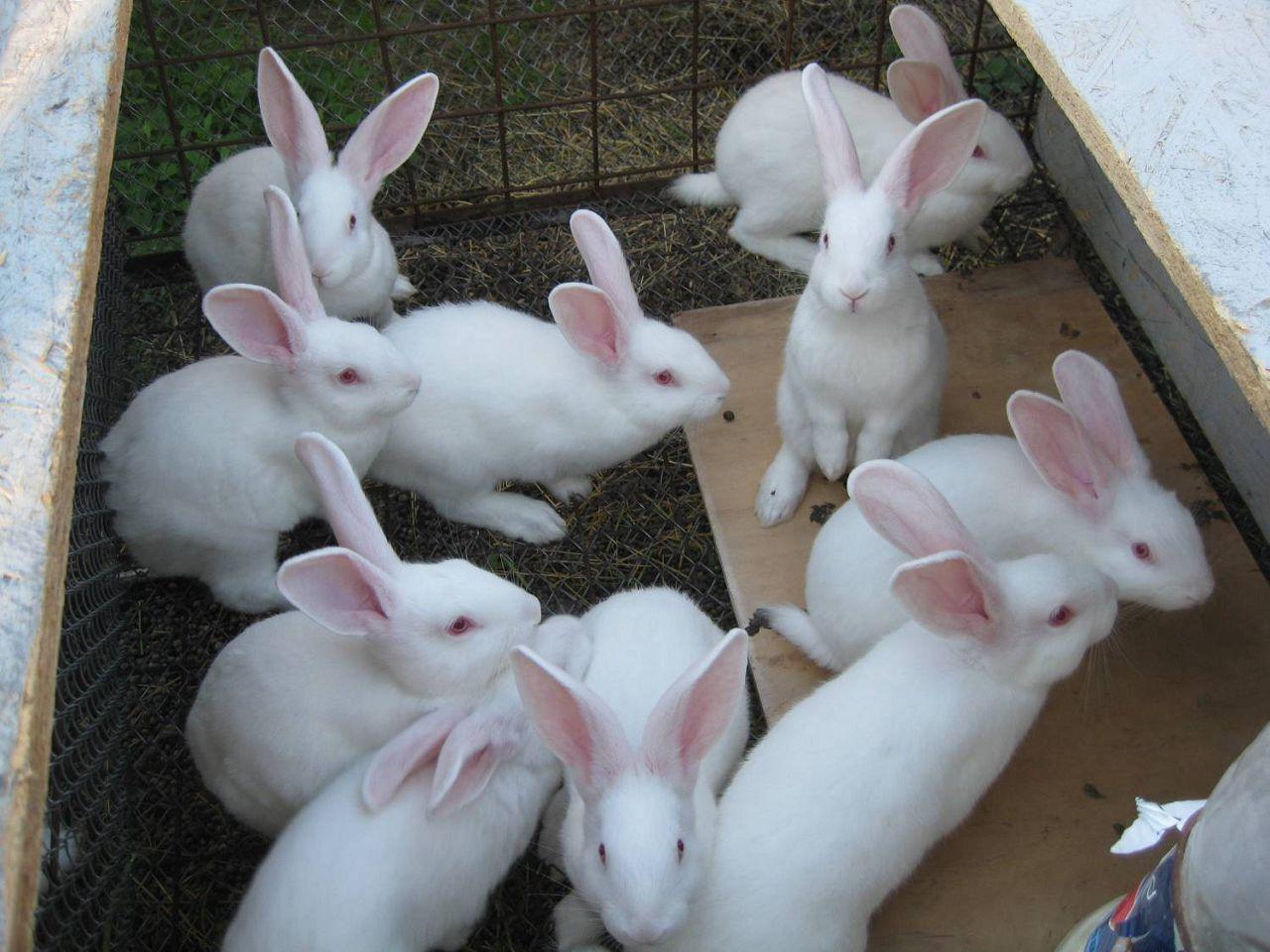 Кролики Белый Паннон выносливы и плодовиты