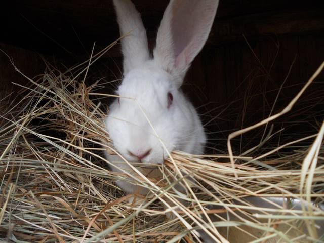 Кролики породы Белый Паннон непривередливы в еде