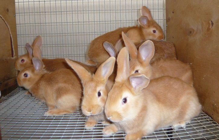 Крольчат, отнятых от матери, кормят 4-5 раз в сутки