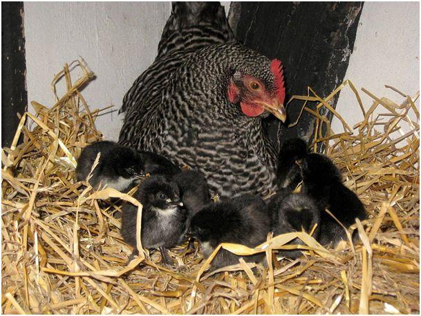 Курица Амрокс с цыплятами