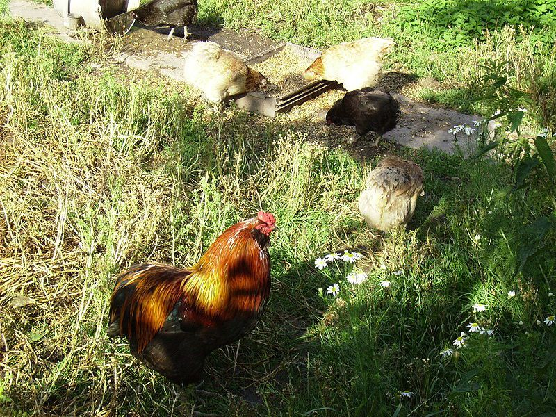 Курица-араукана в вольере
