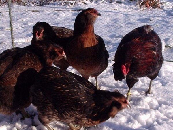 Курицы-арауканы в вольере