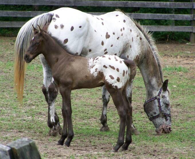 Лошади породы Аппалуза смелы и выносливы