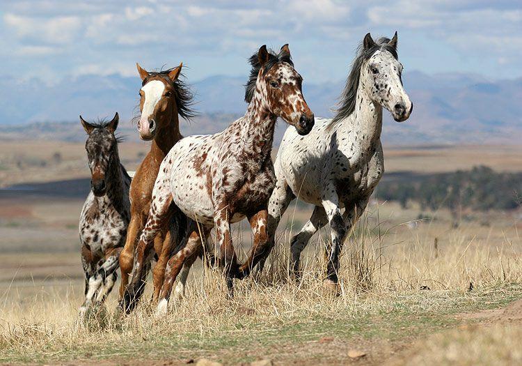 Лошадь Аппалуза часто становилась известной