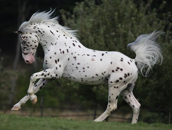 Лошадь аппалуза отличается характерной расцветкой