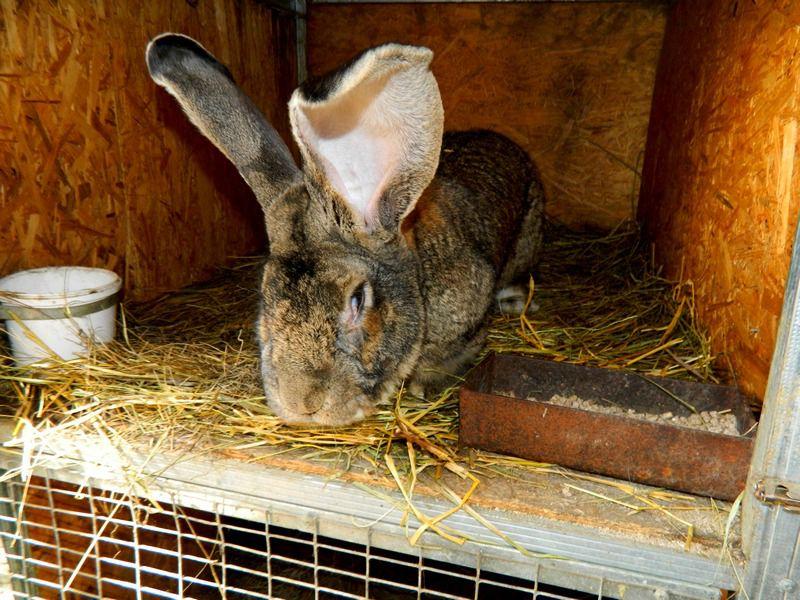 Микробы представляют опасность для кроликов