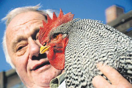 Мясояичная порода кур Амрокс популярна среди заводчиков
