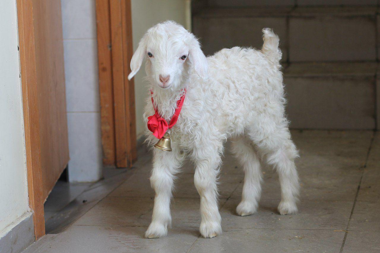 На фото ангорский козленок