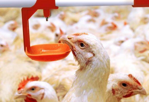 Нельзя давать курам одновременно антибиотики и Эриприм