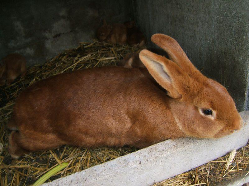 Нехватку кальция, фосфора кролики компенсируют мелом и костной мукой