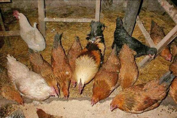 Не стоит превышать дозы препарата, чтобы у животных и птицы не возникло проблем со здоровьем