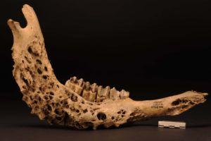 Нижняя челюсть коровы, разрушенная грибком и возбудителями вторичных инфекций
