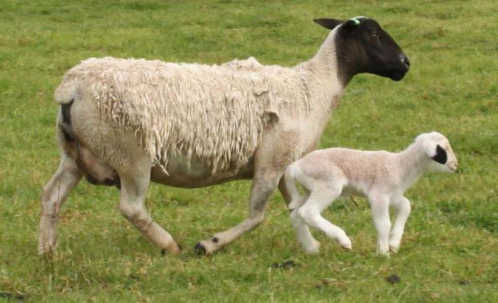 Овца дорпер и ягненок
