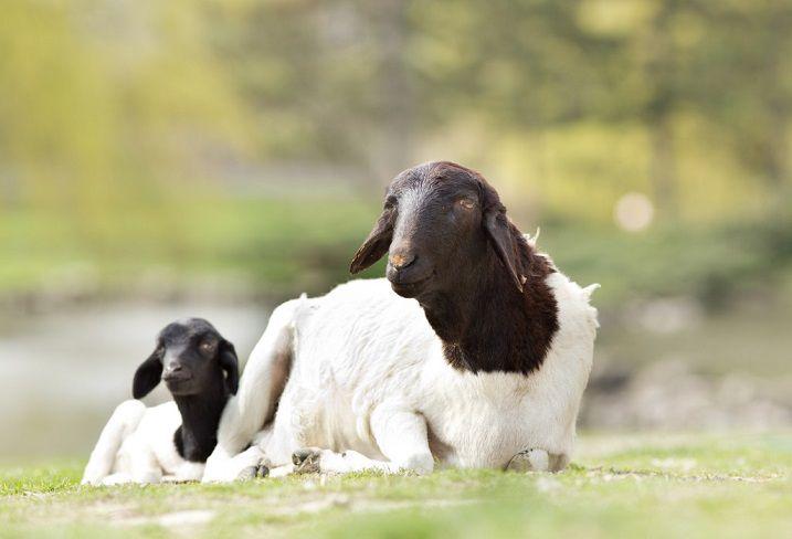 Овца и ягнёнок породы дорпер