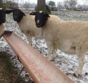 Овцы около кормушки
