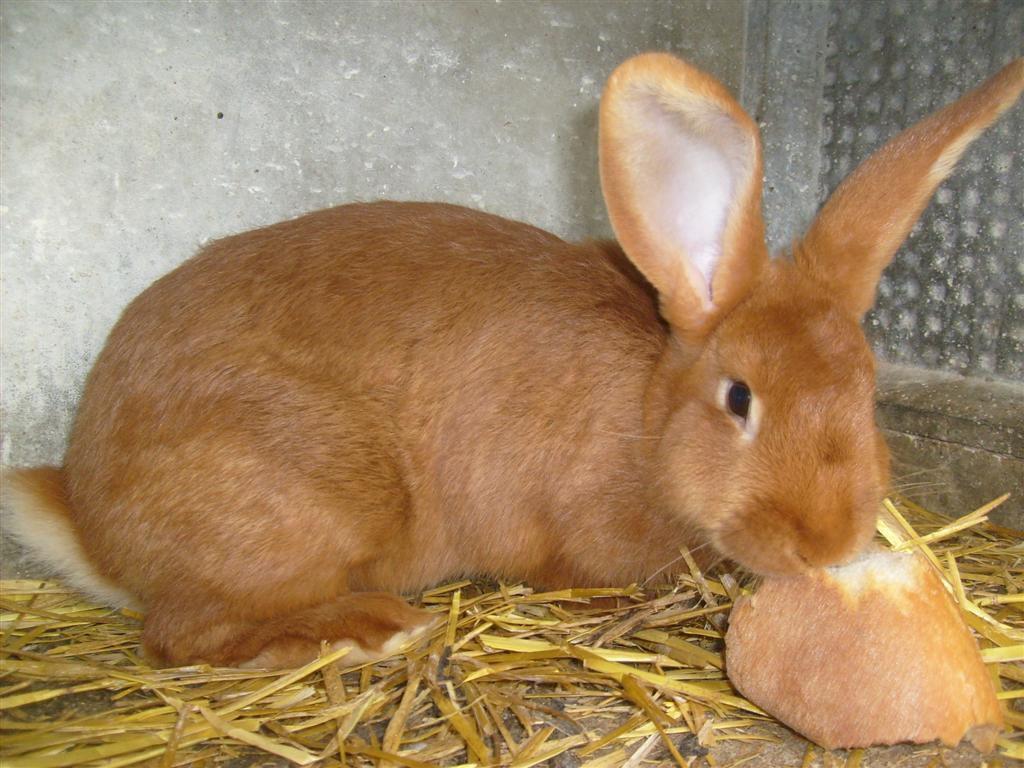 Особенность бургундского кролика - рыжевато-красный мех