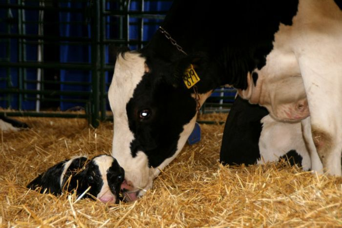 Уход за коровой после отела - важная часть содержания
