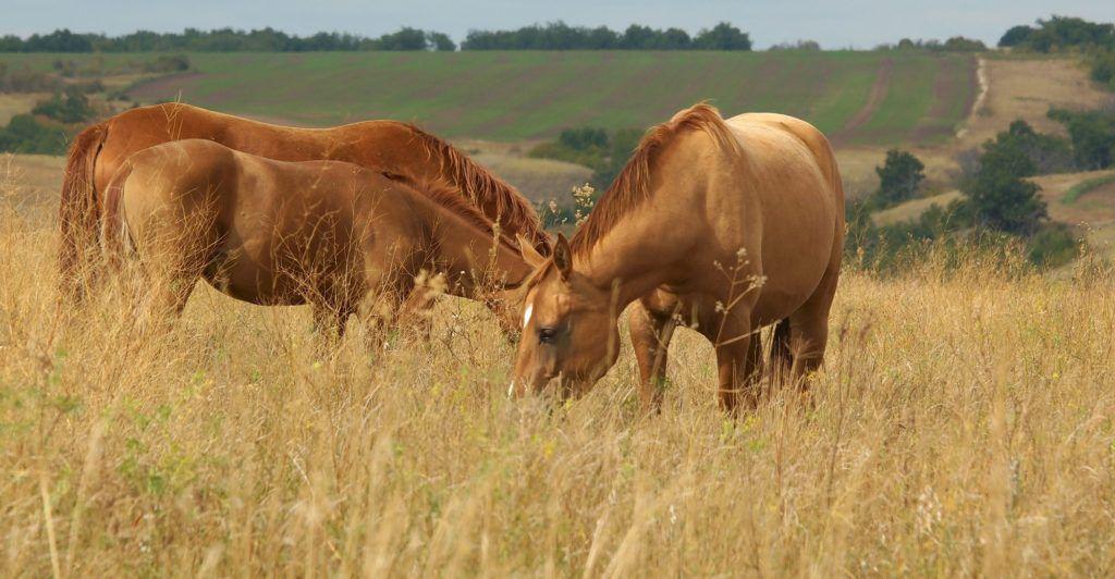 Пасущиеся на лугу донские кони