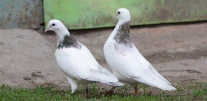 Перед выпуском голубей следите за погодными условиями