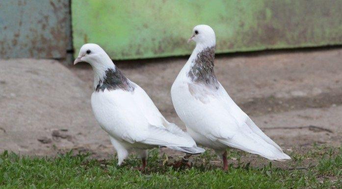 Бакинские голуби - описание, характеристики, разновидности, тренировка, лет и игра