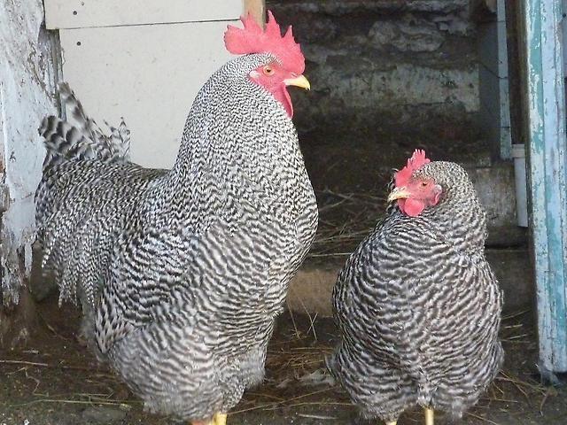 Плимутрок - популярная порода мясных кур
