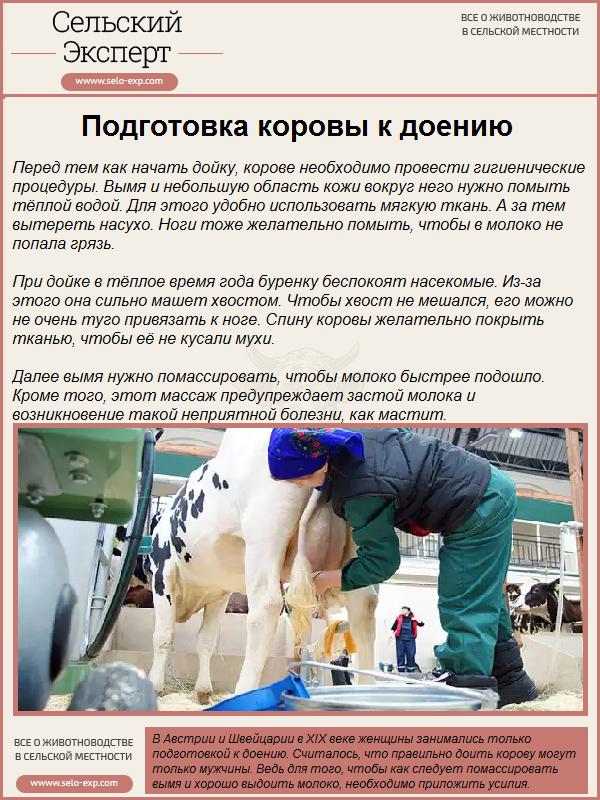 Подготовка коровы к доению