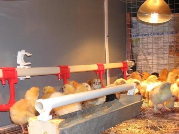 Поилка для цыплят - важный атрибут обустройства птичника