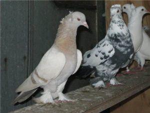 Представители Бакинской породы голубей