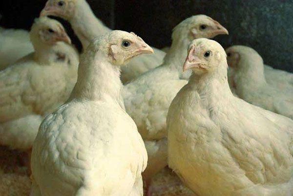 Препарат эффективен для лечения домашней птицы