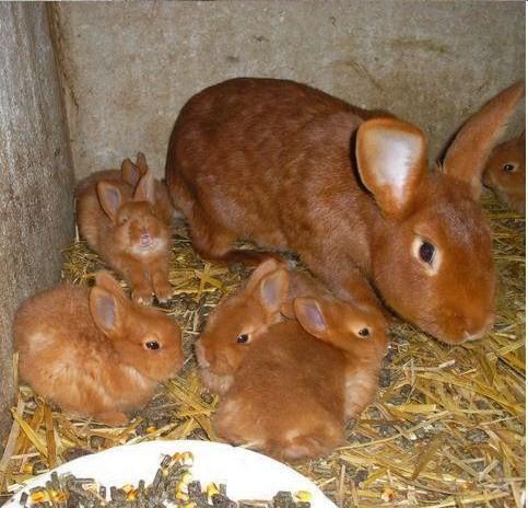 При разведении кроликов очень важно обращать внимание на состояние животных