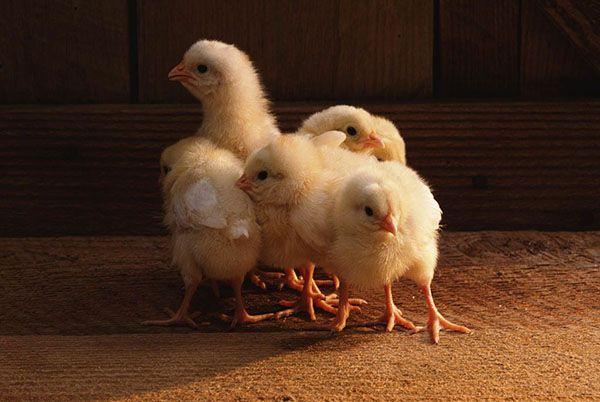 Пробиотики для создания нормальной микрофлоры птенцов