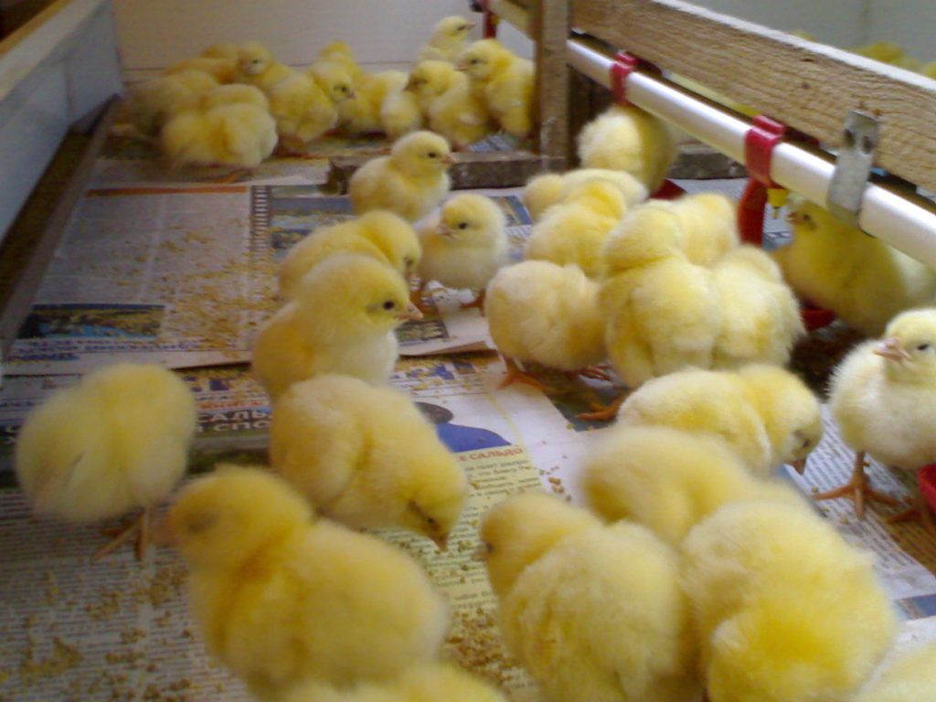 Пробиотики помогают цыплятам вырасти здоровыми