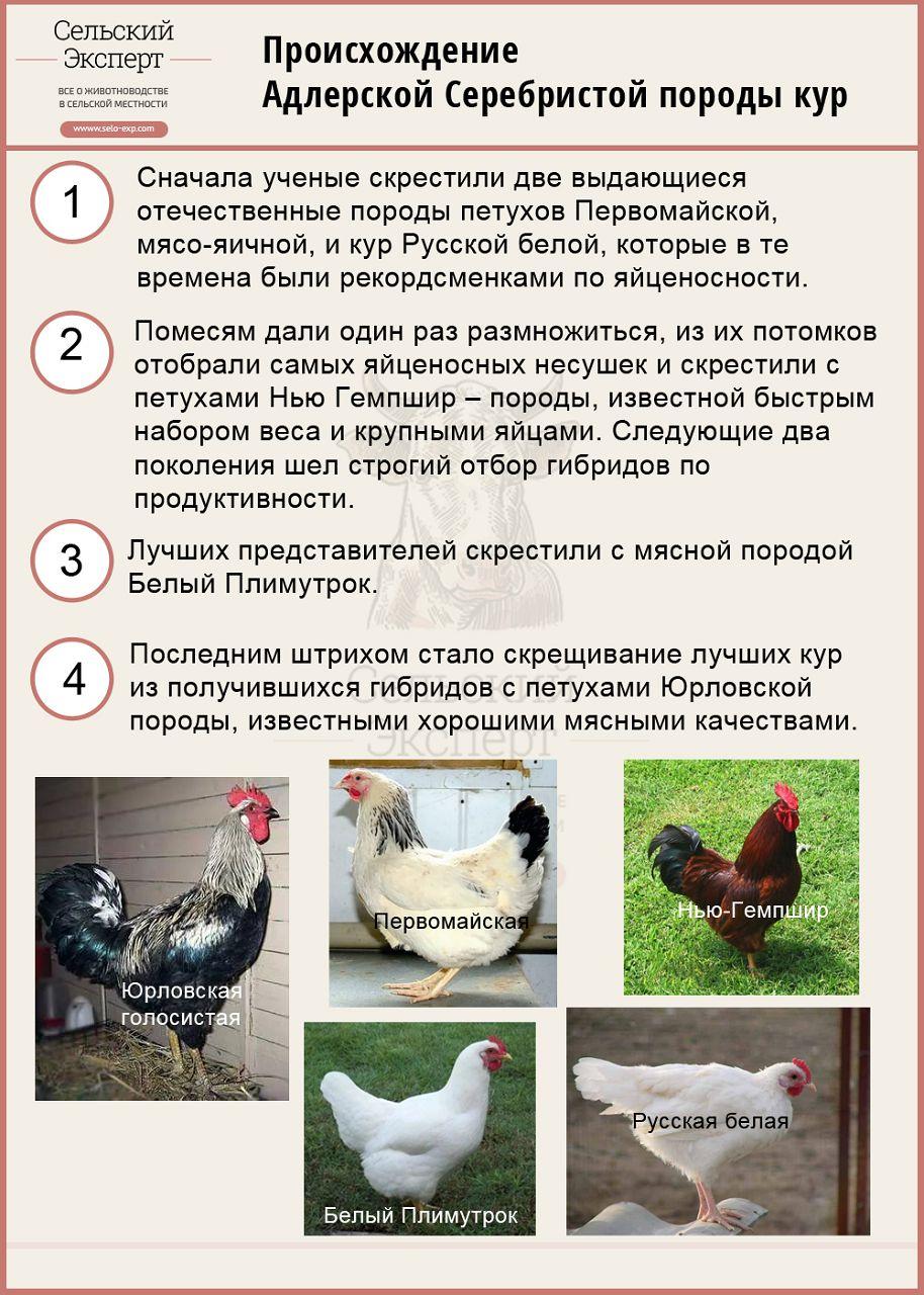 Происхождение адлерской серебристой породы кур