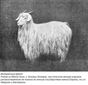 Происхождение и распространение породы ангорских коз