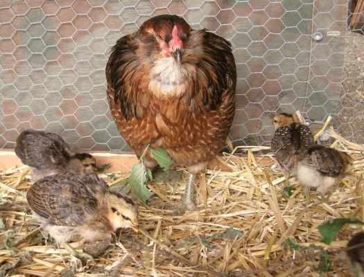 Птицы породы Араукана