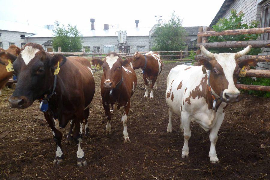 Разведение коров - прибыльное дело